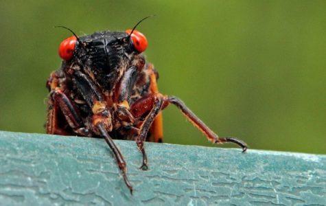 Cicadas are coming