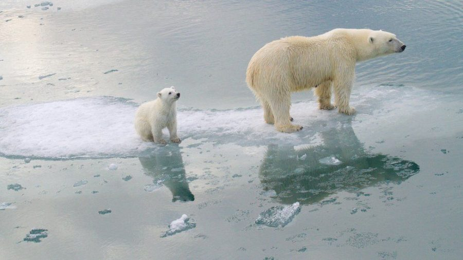 A polar bear and its cub stand on a lone sheet of ice in the quickly-melting Arctic.